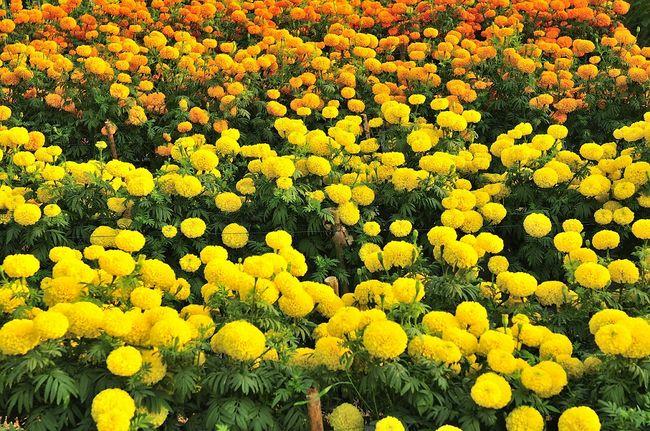 Aksamitki wzniesione - żółte i pomarańczowe
