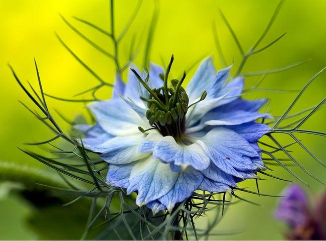 Czarnuszka - kwiat