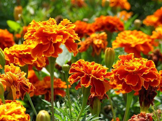 Kwitnące aksamitki rozpierzchłe