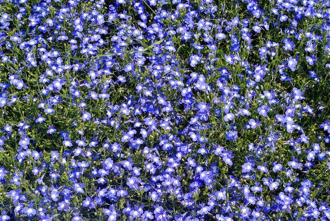 Lobelie niebieskie