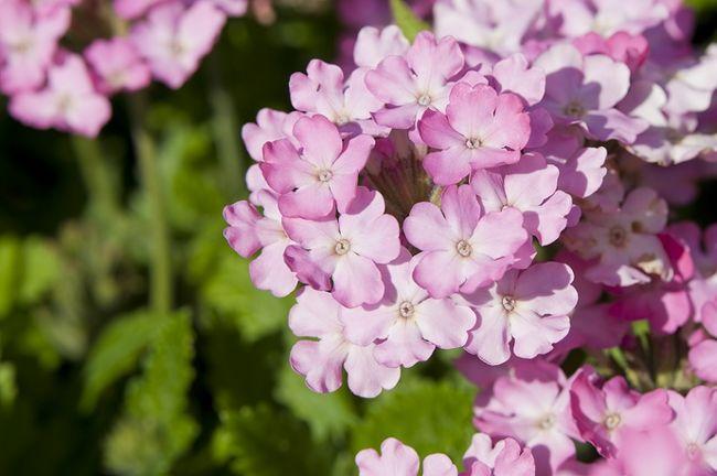 Werbeny Witułki Kwiaty Na Balkon I Do Ogrodu Galeria I
