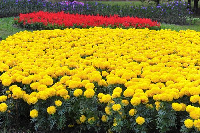 Żółte aksamitki wzniesone