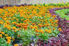 Aksamitki w ogrodzie