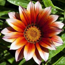 Gazania - kwiat
