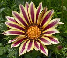 Gazania - piękny kwiat