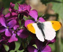 Maciejka - kwiaty