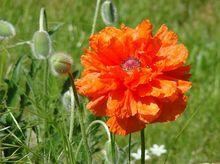Mak - kwiaty
