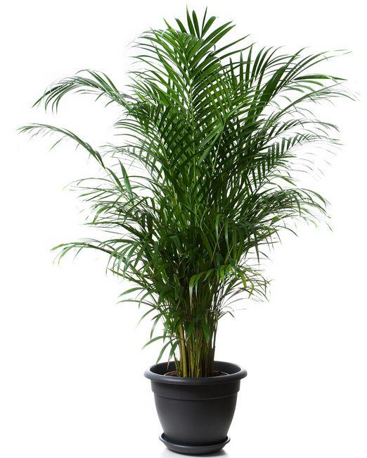 Areka - palma