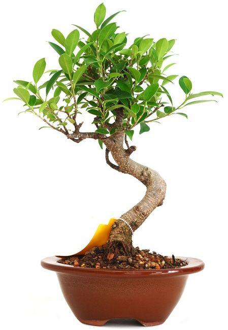 Ficus microcarpa (Ficus retusa)