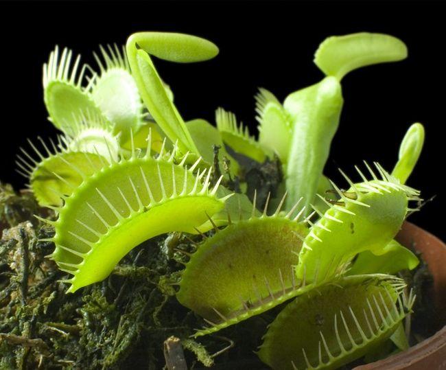 Muchołówka - roślina owadożerna
