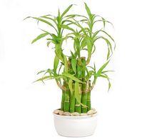 Dracena Sandera (lucky bamboo)