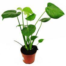 Monstera dziurawa - młoda roślina