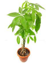 Pachira - kwiat doniczkowy