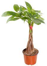 Pachira - kwiat