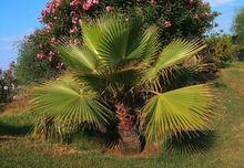 Palma Waszyngtonia w ciepłym klimacie