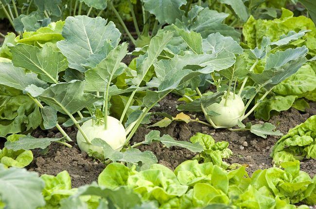 Kalarepa w ogrodzie