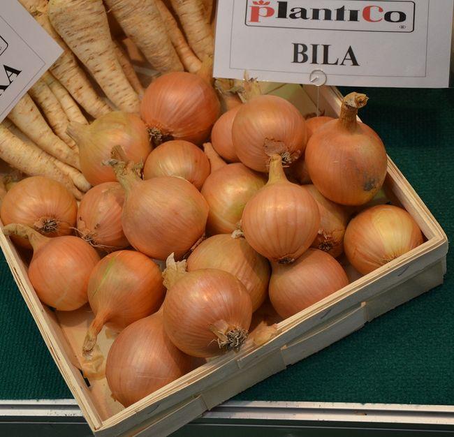 Odmiana cebuli: BILA