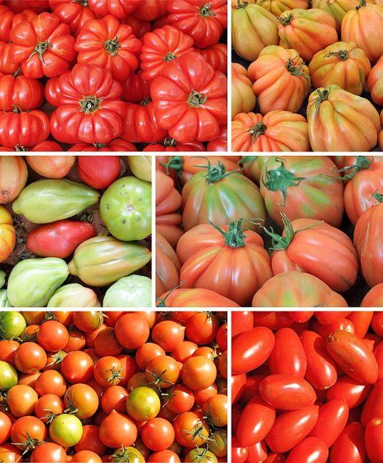 Odmiany pomidorów