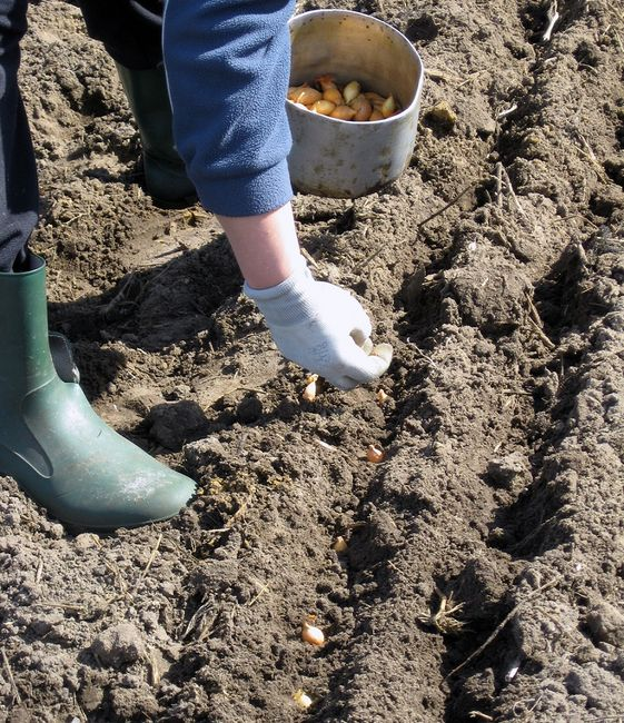 Sadzenie cebuli dymki