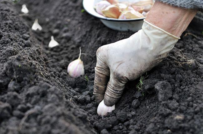 Sadzenie czosnku