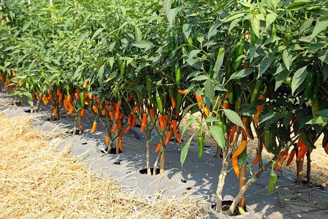 Uprawa papryki chili