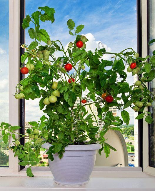 Uprawa pomidora na parapecie