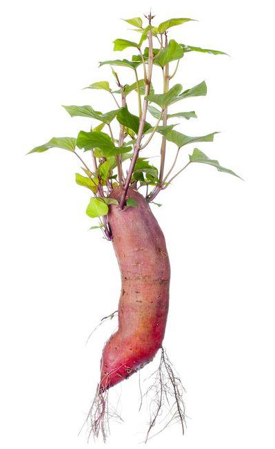 Wilec ziemniaczany (batat, patat, słodki ziemniak)