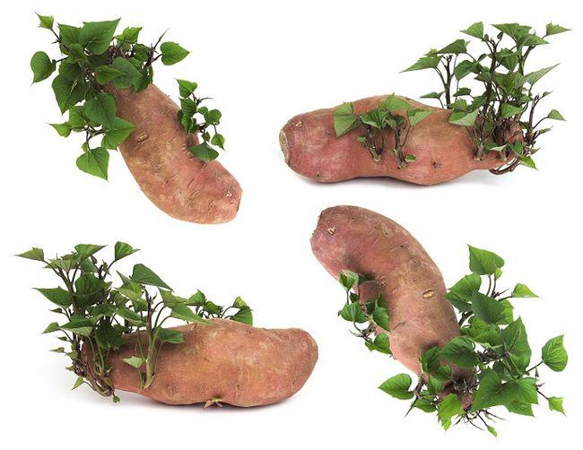 Wilec ziemniaczany - bulwa i liście