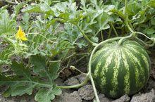 Gruntowa uprawa arbuza