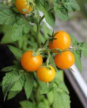 Owocujący pomidor w domu