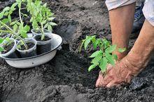 Sadzenie pomidorów z rozsady