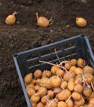 Sadzenie ziemniaków
