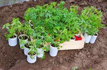 Sadzonki pomidorów