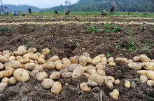 Zbiór ziemniaków