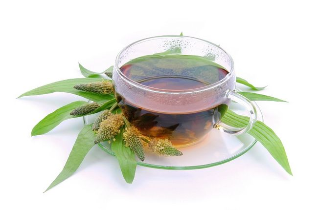 Herbata z babki lancetowatej