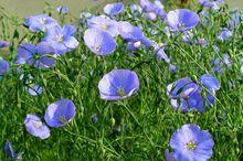 Len - kwiaty
