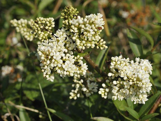 Ligustr pospolity - kwiaty