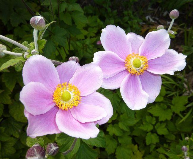 Kwiaty zawilca japońskiego