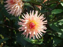 Dalia - kwiat