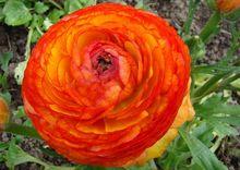 Jaskier - kwiat