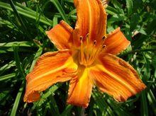 Liliowiec - kwiat