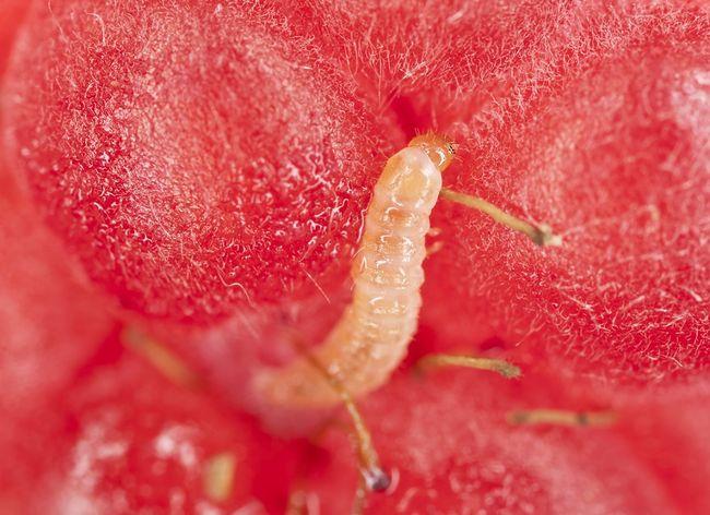 Kistnik malinowiec - larwa