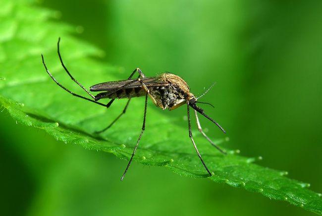 Komar na liściu