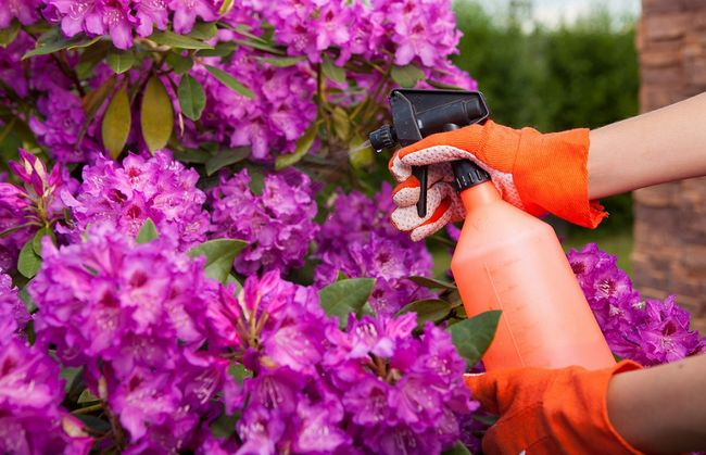 Oprysk rododendronów