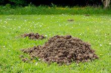 Kopce zrobione przez kreta na trawniku