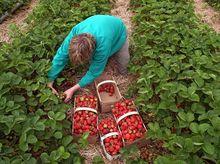 Zbiór truskawek