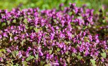 Jasnota purpurowa