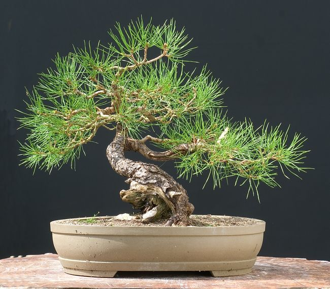 Sosna w formie bonsai