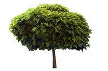 Drzewo - Surmia (Katalpa)