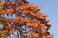 Sumak jesienią